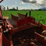 Atelier récolte des pommes de terre nouvelles 😁