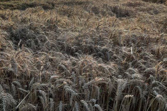 Moisson blé - Ferme Reymann Raedershim 07 2021 - 2