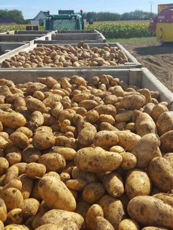 Recolte de Pommes de terre Ferme Reymann 68 Raedersheim